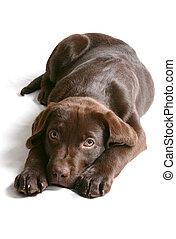 Chocolate Lab Puppy - 14 week old chocolate labrador puppy ...