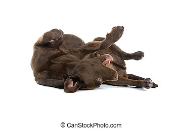 chocolate labrador retriever dog - Chocolate Labrador...