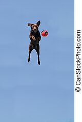 Chocolate Labrador retriever jumps with a toy and plays in a...