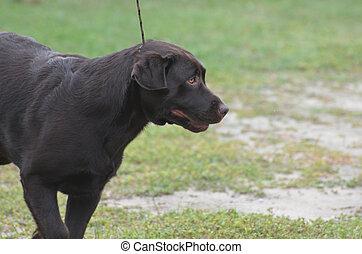 Chocolate Labrador Retriever on a Leash