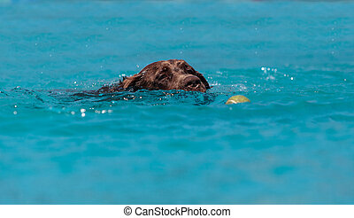 Chocolate Labrador retriever swims with a toy and plays in a...