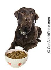 Chocolate Labrador with Food Bowl