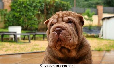 Chocolate Shar Pei Pup Closeup - Cute shar pei dog in the...