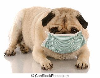 chodząc, zakaźny, medyczny, mops, maska, chory, albo