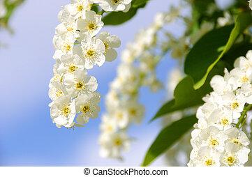 Choke Cherry in Bloom