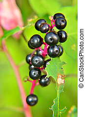Chokeberry and insect devoured leaves