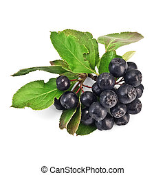 Chokeberry - Brush chokeberry with green leaves isolated on ...