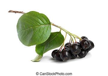 chokeberry, noir