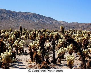 Cholla cacti in Mojave desert