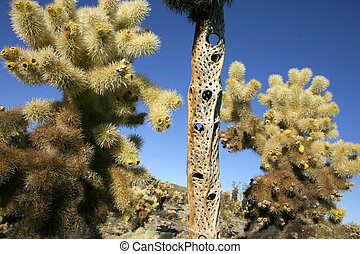 Cholla Cacti In The Ajo Mountains, Organ Pipe Cactus ...
