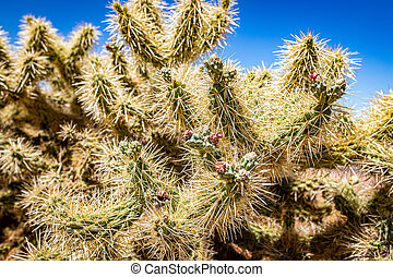 Cholla Cactus along Arizona State Rout 88, a former stagecoach route known as the Apache Trail.