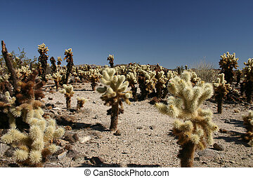 Cholla cactus also known as teddy bear cactus in Joshua Tree National Park