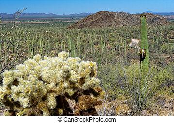 Cholla Cactus in Saguaro National Park, Arizona