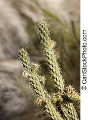 Cholla Cactus in the desert near Yuma Arizona, USA.