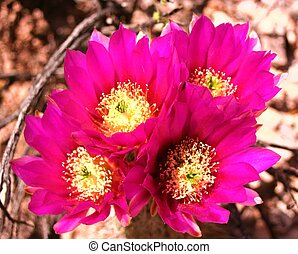 Cholla Flower - Cholla cactus flowers photographed in Near...