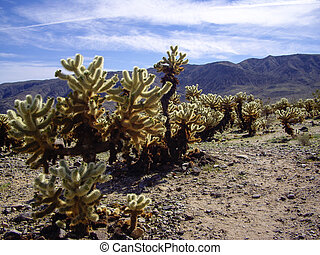 Cholla forest in sunlight