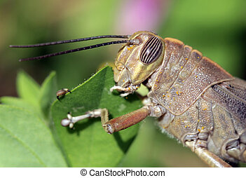 Macro shot of the chorthippus brunneus grasshopper sitting on the leaf. Shallow depth, selective focus.