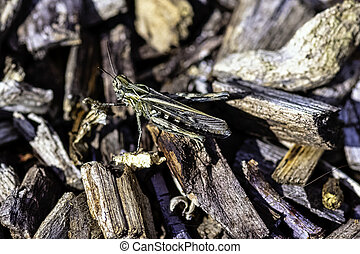 Chorthippus brunneus known as common field grasshopper in British park