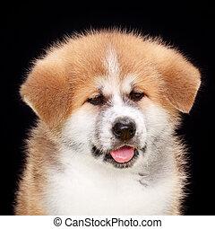chouchou, chien