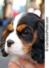 chouchou, closeup, chien