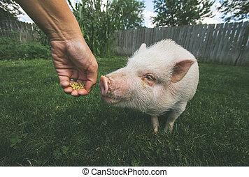 chouchou, cochon