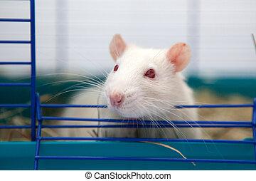 chouchou, mignon, rat
