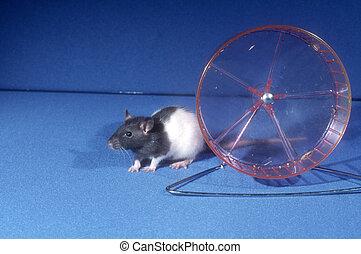 chouchou, rat