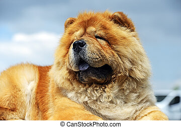 Chow chow at a dog show in the spring