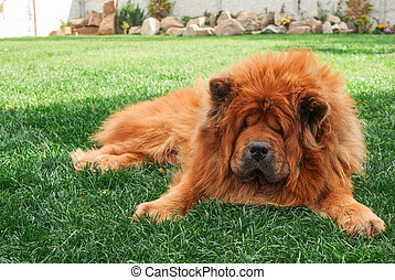 chow-chow - beautiful red dog chow lying on the grass