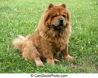 Chow chow dog in the grass. Summer in Lithuania.
