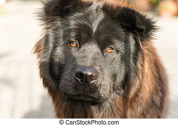 Chow Chow Dog Purebred Breed Metal Gate