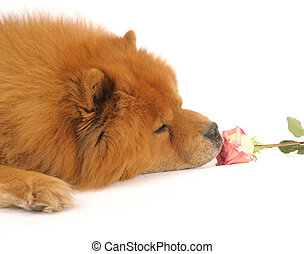 Chow-chow enjoying aroma of the rose, isolated on a white...