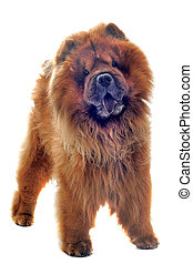 chow-chow in front of a white background