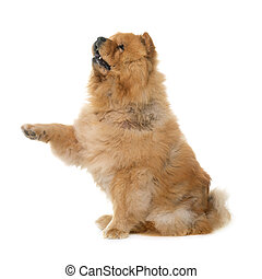 chow chow in studio - chow chow in front of white background