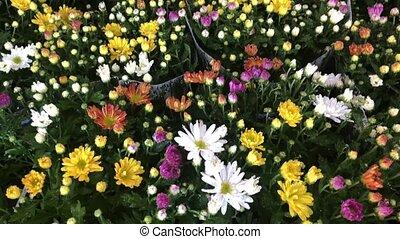 Chrisantemum in garden center - Chrisantemum fresh fall...