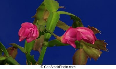 Christmas Cactus Blooming Time Laps