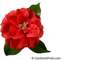 Christmas Camellia - Beautiful red camellia on a white ...