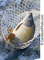 Christmas carp (Czech Christmas tradition)