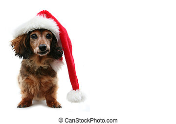 Christmas Dachshund - Long haired dachshund wearing a santa...