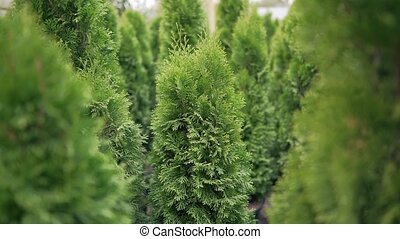 Christmas decoration instead of standard spruce. Evergreen coniferous tree. Large growing seedling 4k