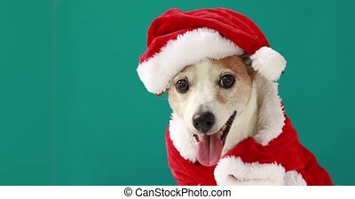 christmas dog as santa - Christmas dog jack russell terrier ...