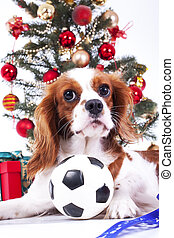 Christmas dog celebrate christmas with tree on studio. Christmas bauble ornaments glass balls and cavalier king charles spaniel dog puppy studio photo. Cute christmas animal pet.
