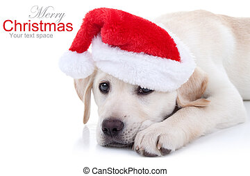 Christmas Dog - Christmas Labrador puppy dog in Santa hat on...