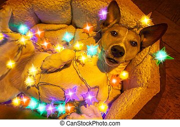 christmas dog with fairy lights - ack russell dog resting...