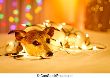 christmas dog with fairy lights - jack russell dog resting...