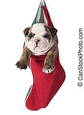 Christmas English bulldog puppy - Cute English bulldog puppy...