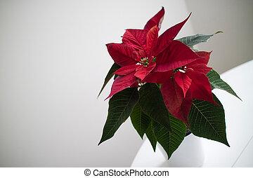 christmas flower red Poinsettia in the pot on light backround