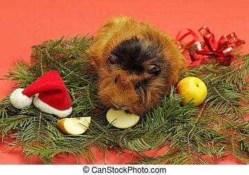 Christmas for guinea pig
