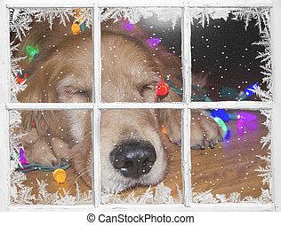 Christmas golden retriever in window
