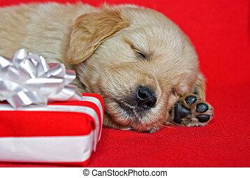 Christmas Golden Retriever puppy - Snoozing golden retriever...
